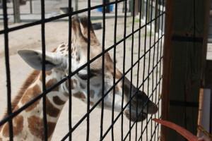 kalahari safari adventure girafe