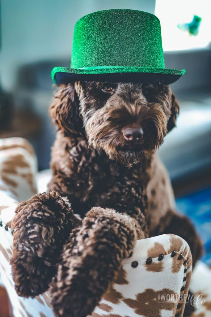 Chance is our rambunctious, curious, furry-faced, and all around everyone's best friend kind of chocolate labradoodle! And today, he wanted to celebrate his second St. Patrick's Day with the whole world. Are you ready for cuteness overload?